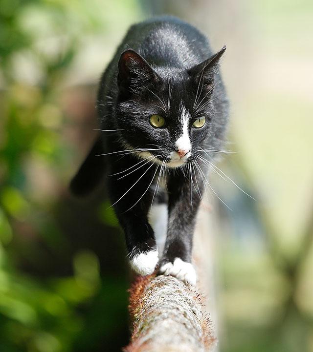 schwarze katze auf jagd heelvet