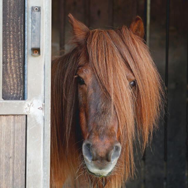 isländer pony schaut einen an heelvet