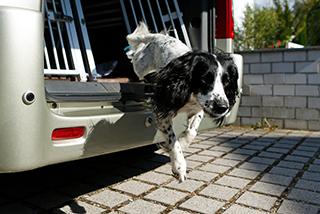 Hund springt trotz Arthrose aus dem Auto.