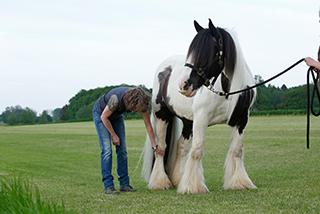 Untersuchung des Pferdes auf Arthrose.