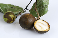 Strychnos nux-vomica oder Nux vomica-Gewöhnliche Brechnuss