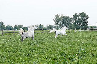 zwei weisse pferde mit gesunden gelenken auf der wiese