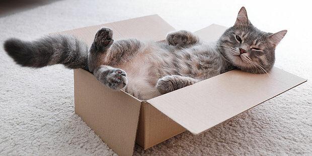 graue katze schläft entspannt in box