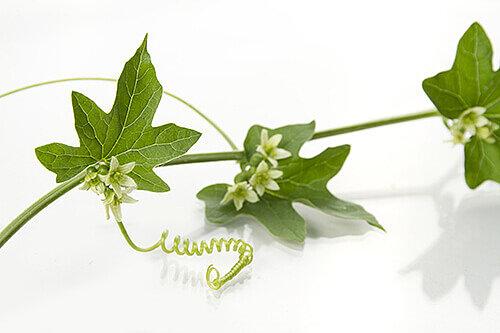 tropische passionsblume fruchtpflanze