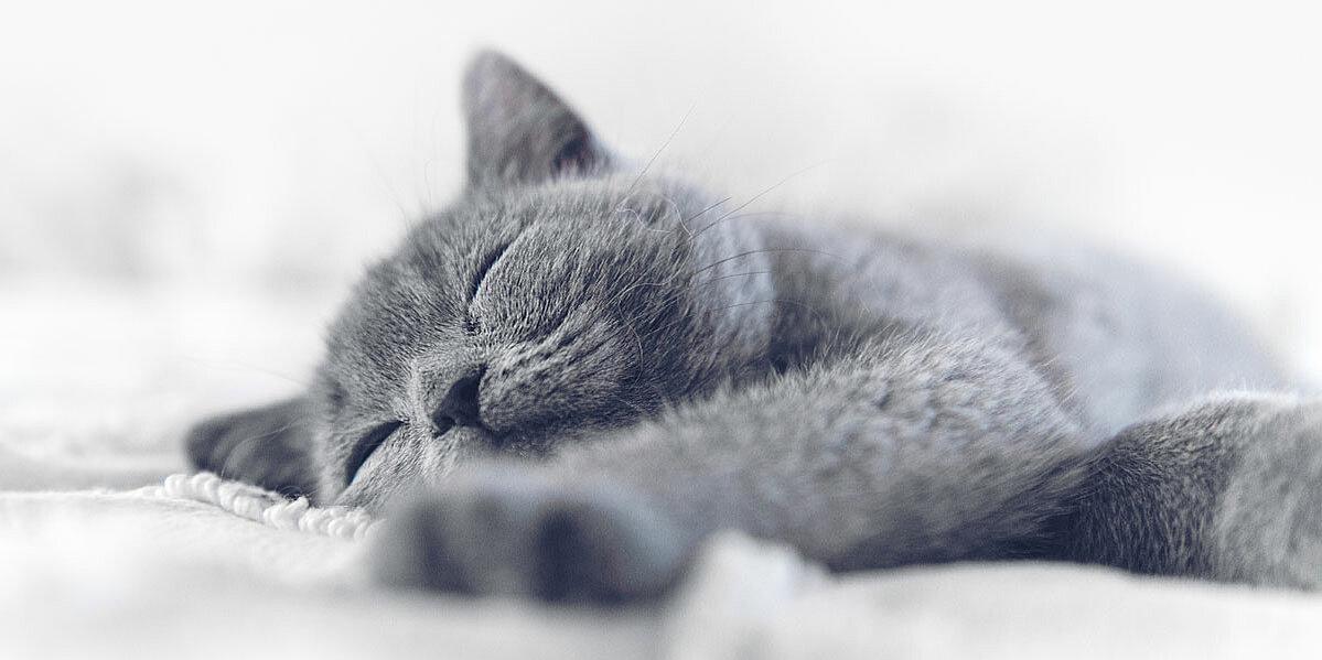 Graue Katze mit Niereninsuffizienz schläft