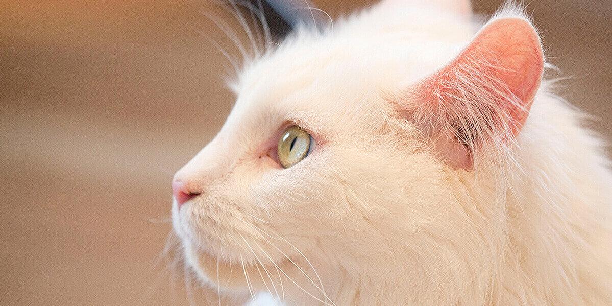 Weiße Katze mit grünen Augen.