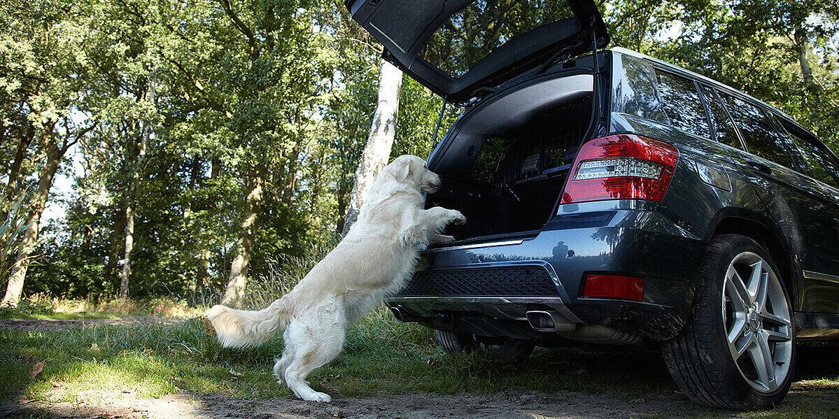 Hund springt für eine Reise ins Auto.