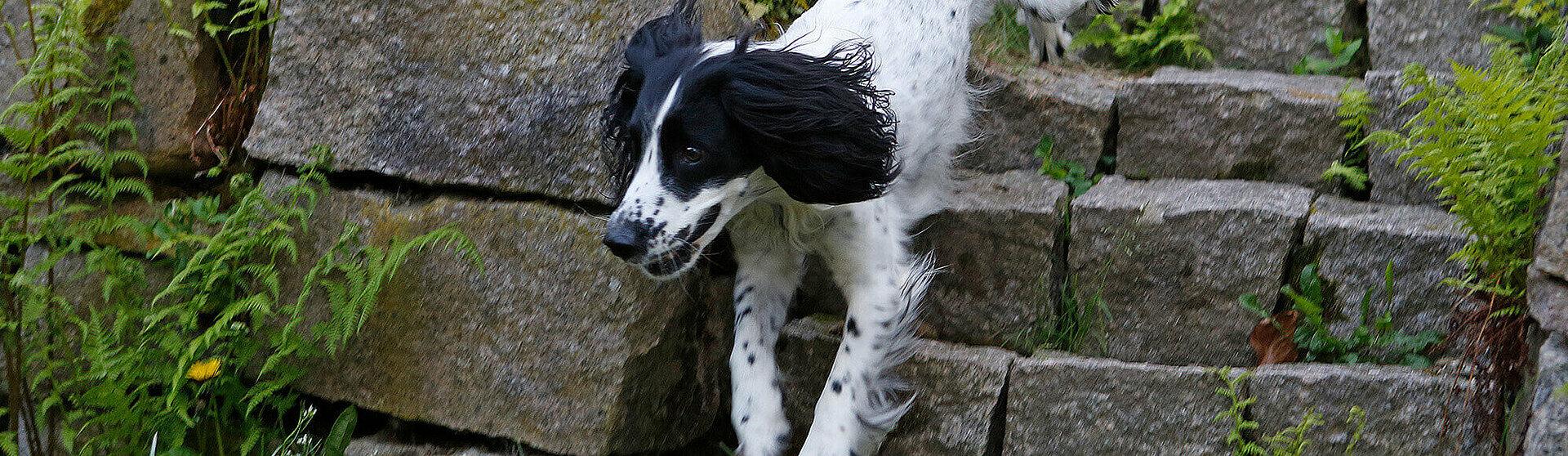 Springender Hund der an Arthrose erkrankt ist.