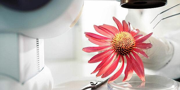 echinacea unter dem mikroskop
