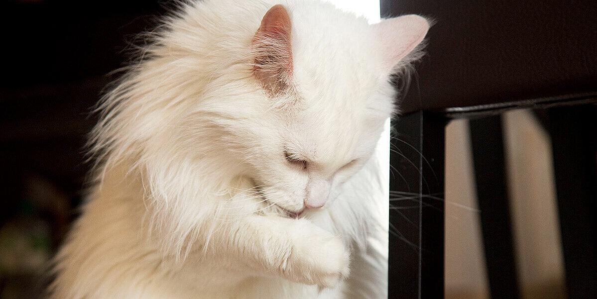 weisse katze leckt die verletzte pfote
