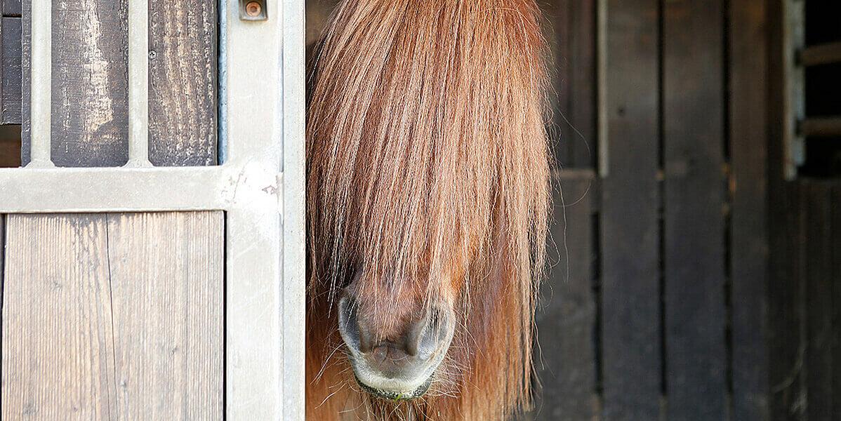 Pferd mit langer Mähne im Stall.