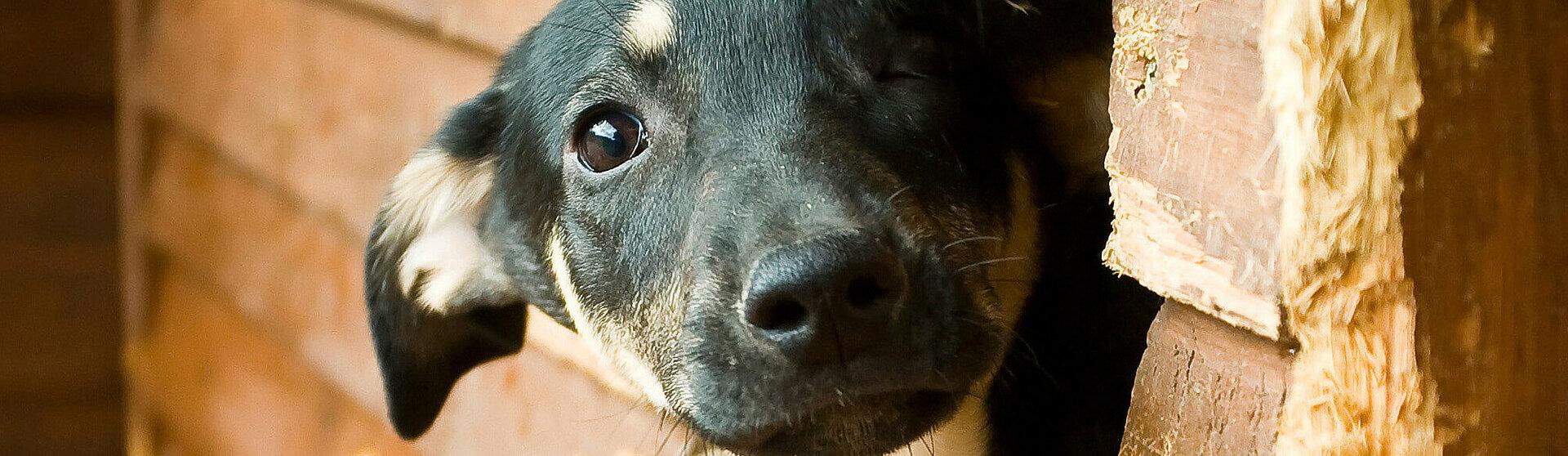Hund mit einer Bindehautentzündung.