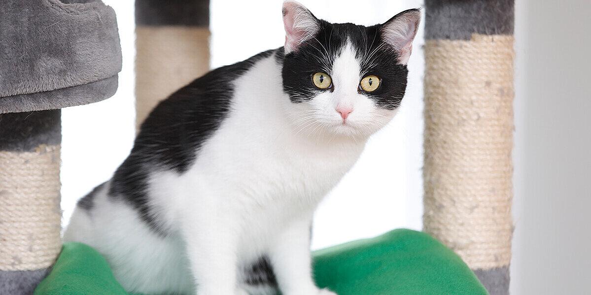 Schwarz.weiße Katze mit Symptomen auf Arthrose.