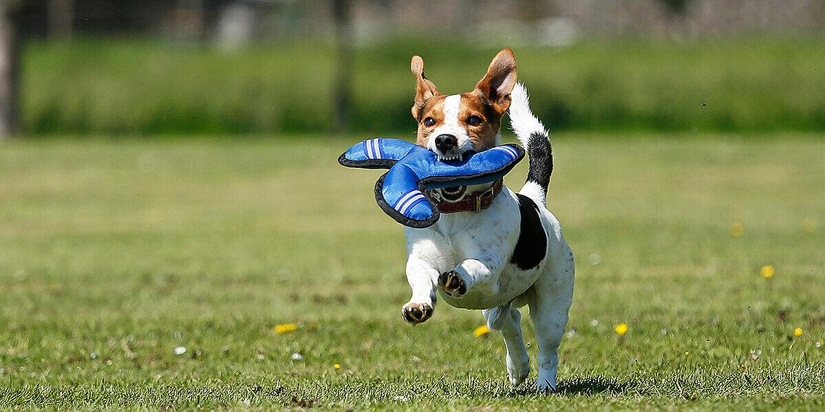 Hund beim Hundesport mit Frisbee im Maul