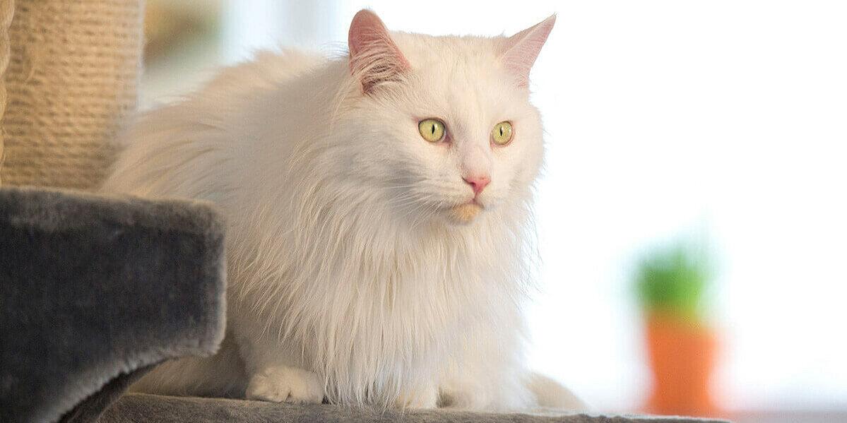 Weiße Katze mit grünen Augen auf einem Kratzbaum.