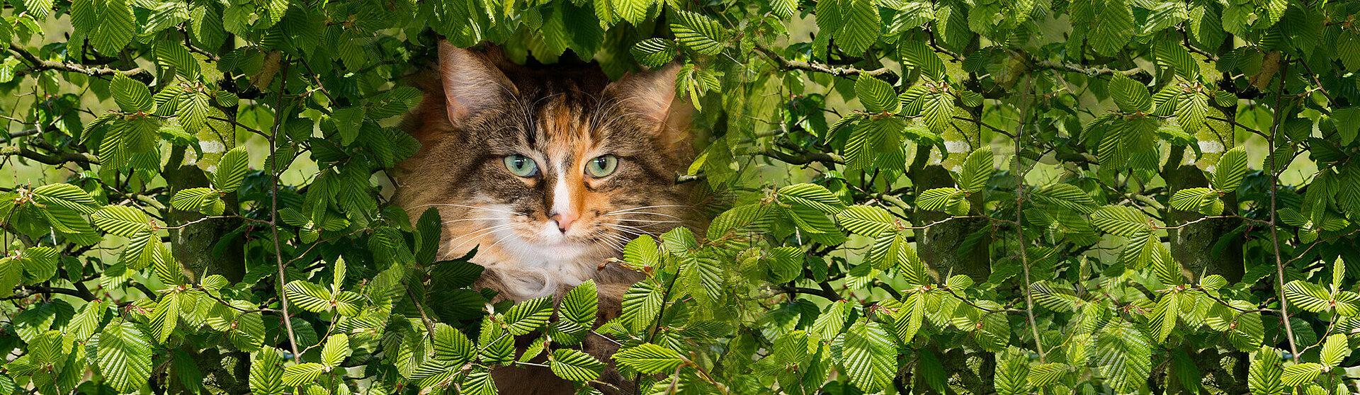 Adrisin Katze schaut durch eine Hecke.