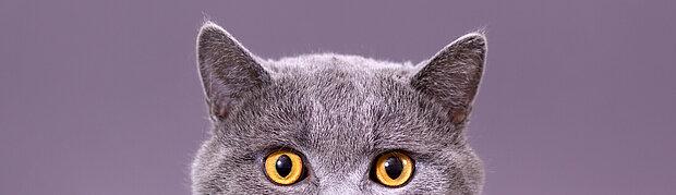 graue katze schaut einen an heelvet