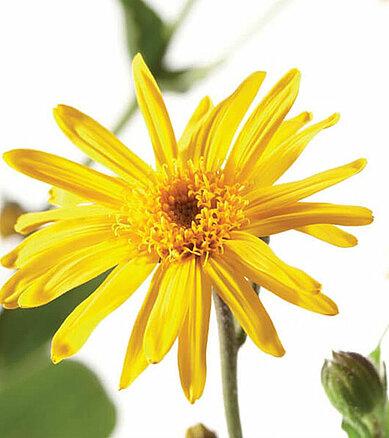 arnica pflanze blütend gelb