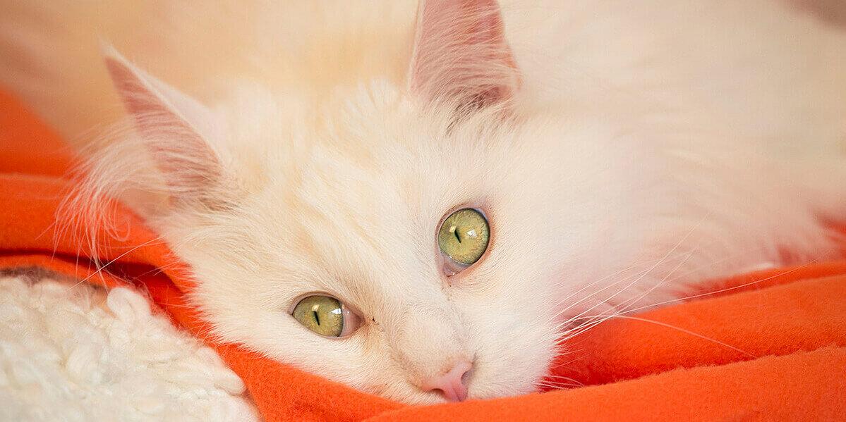 Weiße Katze mit grünen Augen auf einer Decke.