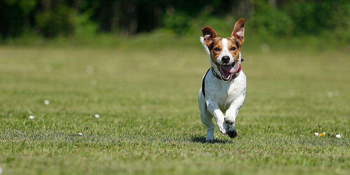 Ein Hund der über eine grüne Wiese rennt.