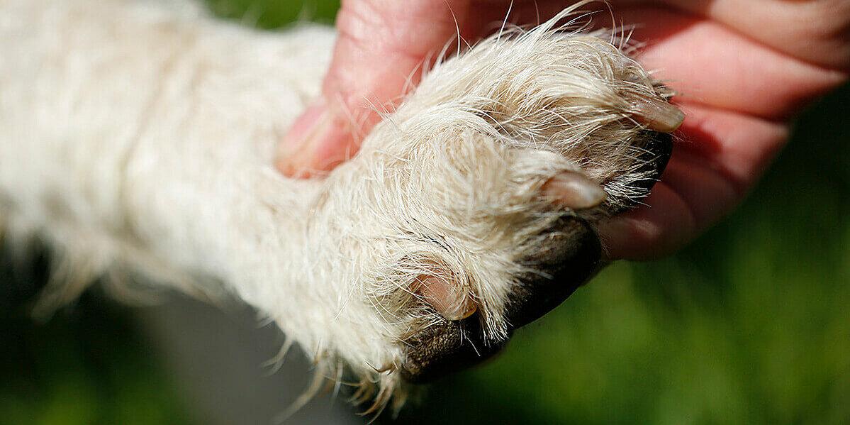Kontrolle einer Hundepfote nach Hautkrankheiten.