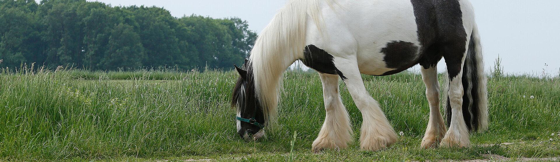 Pferd grasend auf der Weide