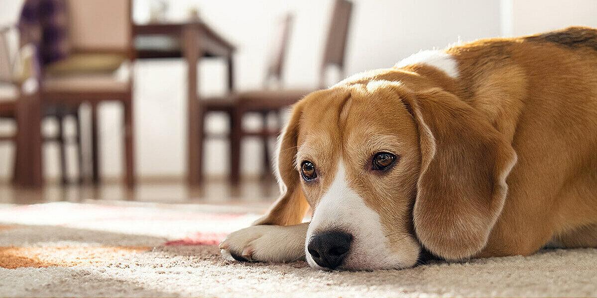 Hund, der an Übergewicht leidet.