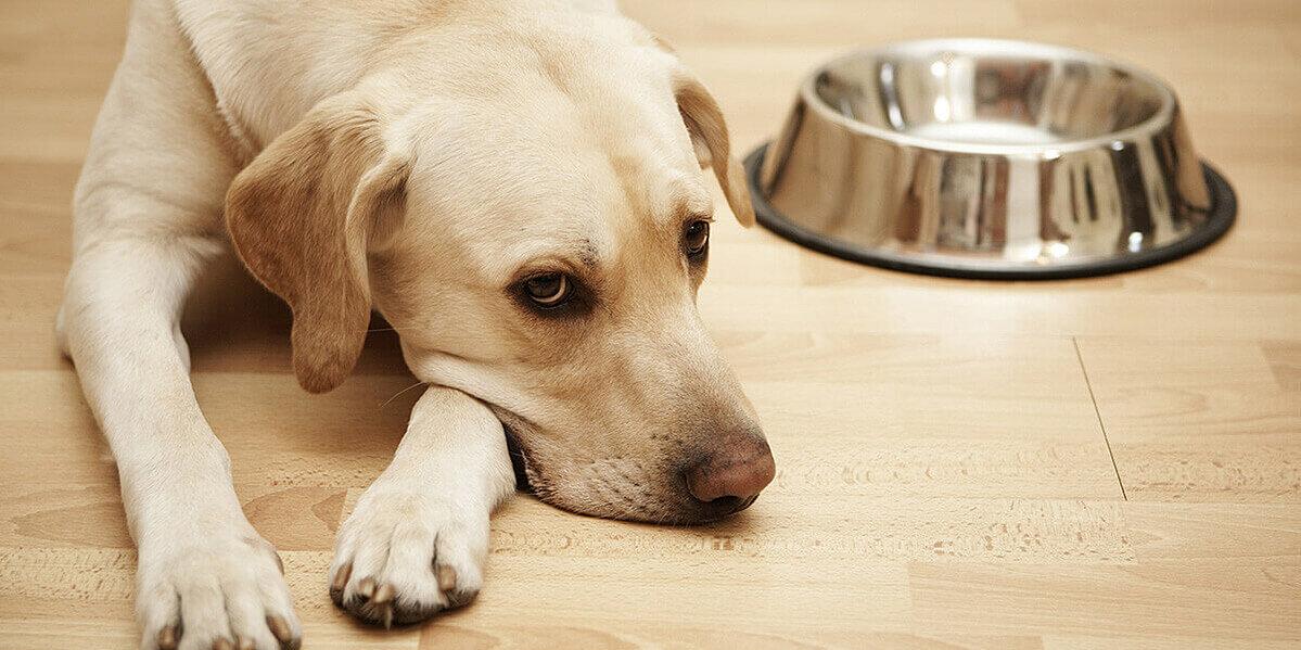 Appetitlosigkeit bei einem an Magen-Darm erkrankten Hund.