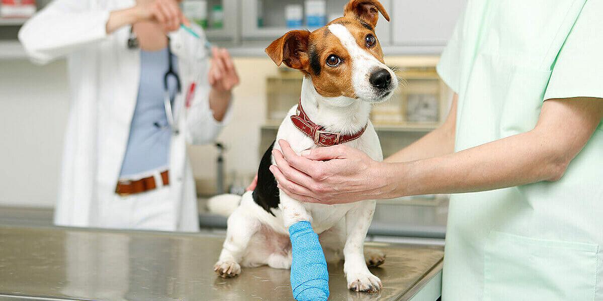 Ein Hund der unter Trauma leidet und beim Tierarzt behandelt wird.