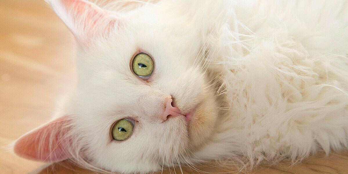 Weiße Katze mit grünen Augen mit Symptomen eines Traumas.