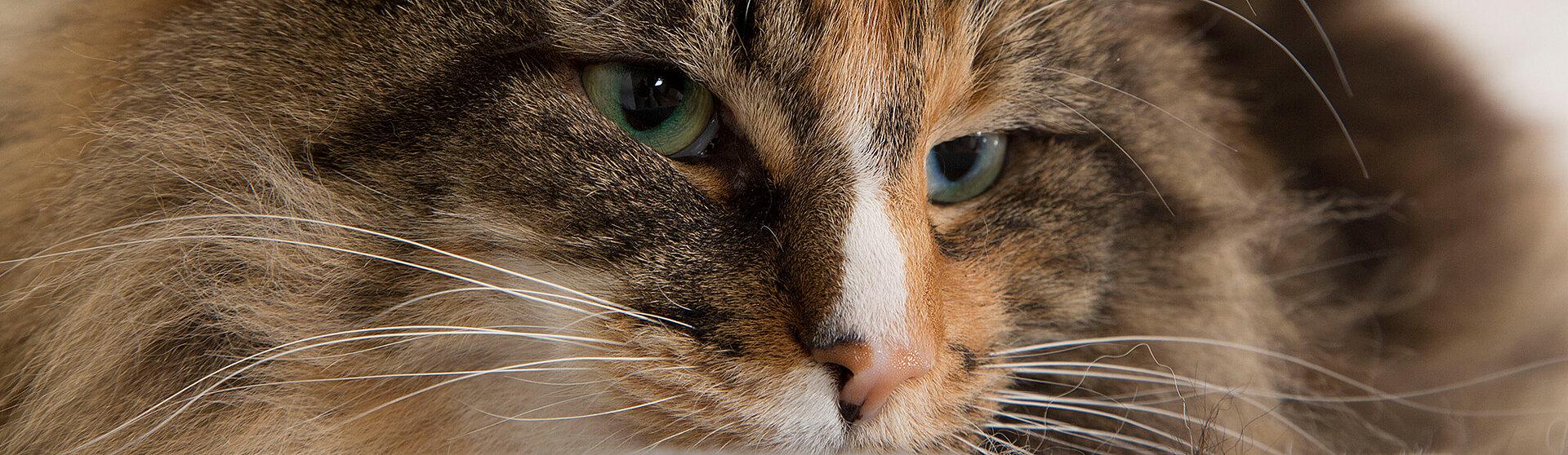 Getigerte Katze mit einem starken Immunsystem.