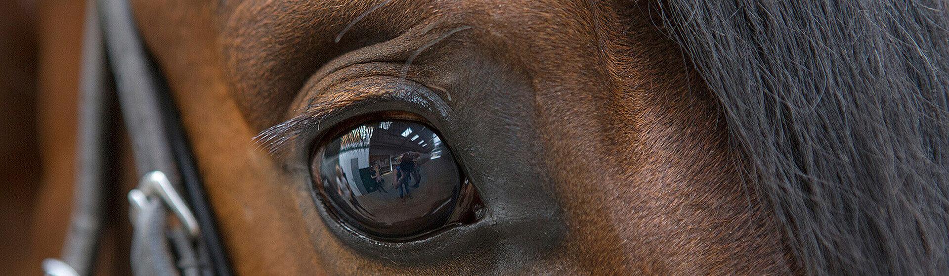 Auge eines Pferdes.