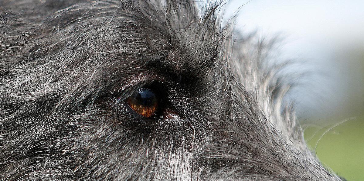 Ein Hund mit einer Bindehautentzündung.