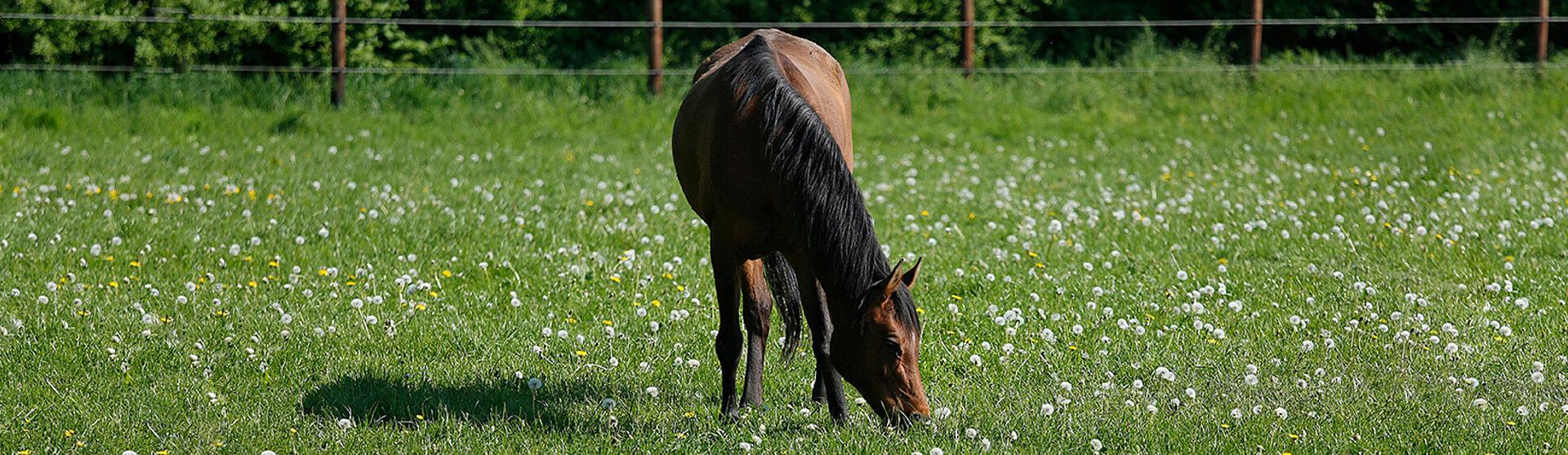 braunes pferd grast auf weide