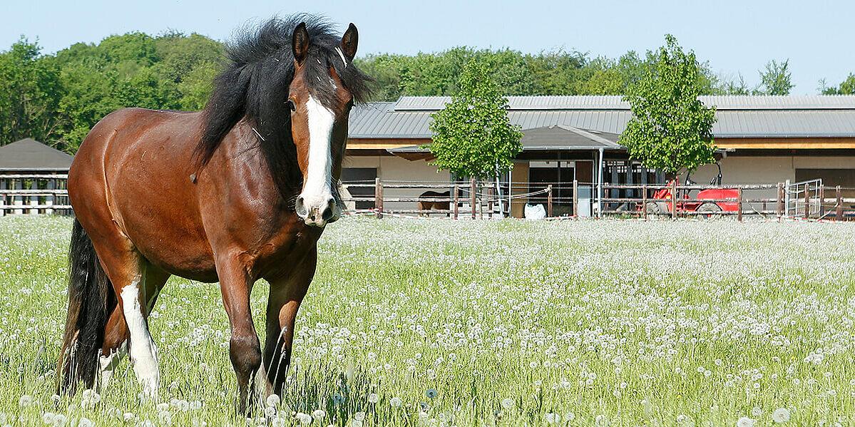 Ein Pferd im Frühjahr auf der Wiese hat Fellwechsel