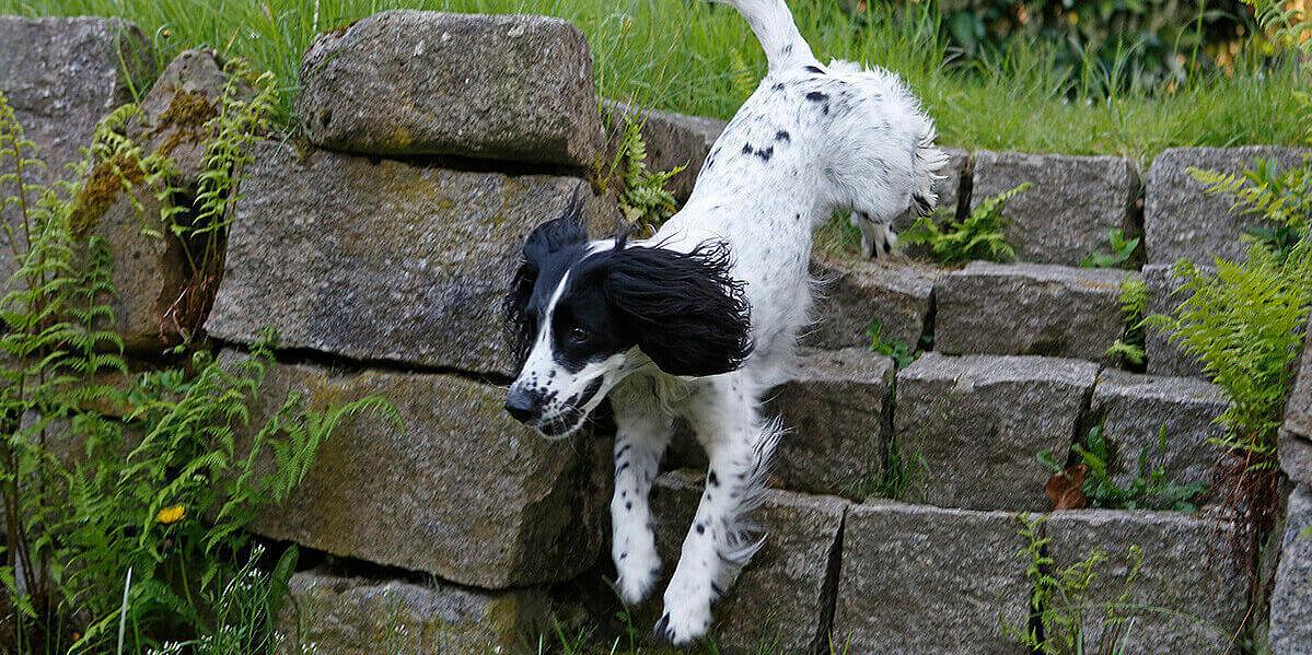 Ein gesunder Hund läuft eine Steintreppe in einem Garten herunter.