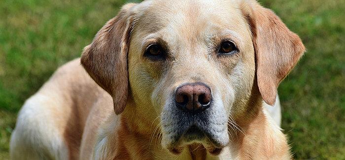 Universität Jena | Bewegungsstudie – Labrador Retriever gesucht