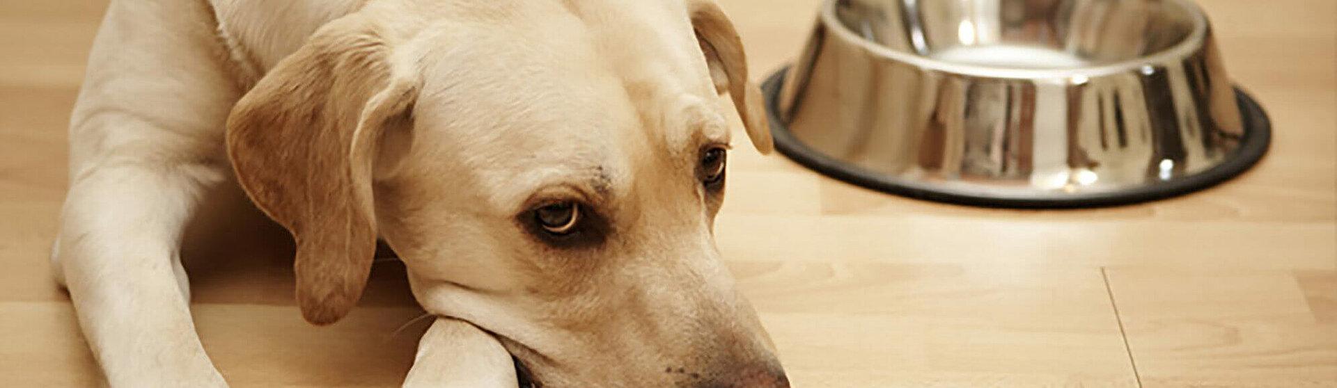 Appetitlosigkeit bei einem an Durchfall und Erbrechen erkrankten Hund.
