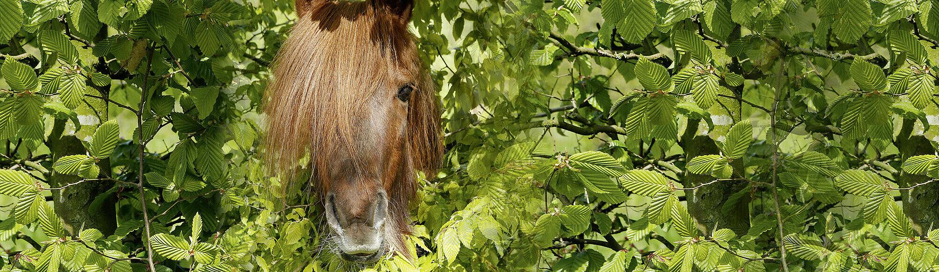 Ein Pferd, welches durch eine Hecke schaut.