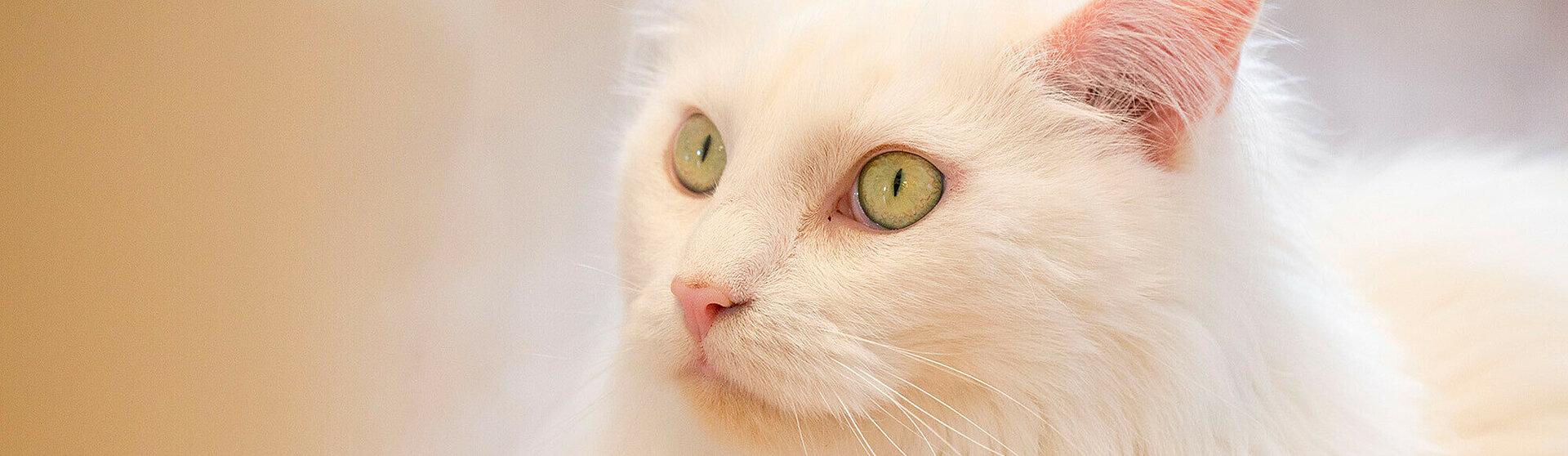 Eine Katze die an einer Bindehautentzündung erkrankt ist.