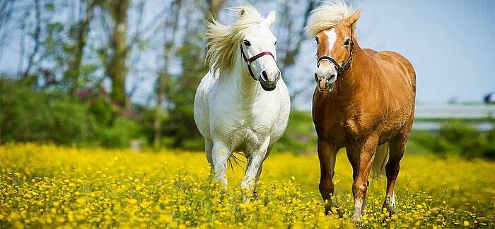 Pferd | Bindehautentzündung im Sommer