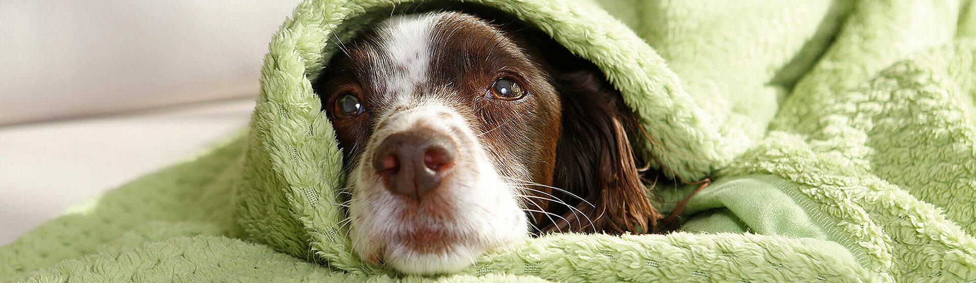 Hund mit Altersproblemen.