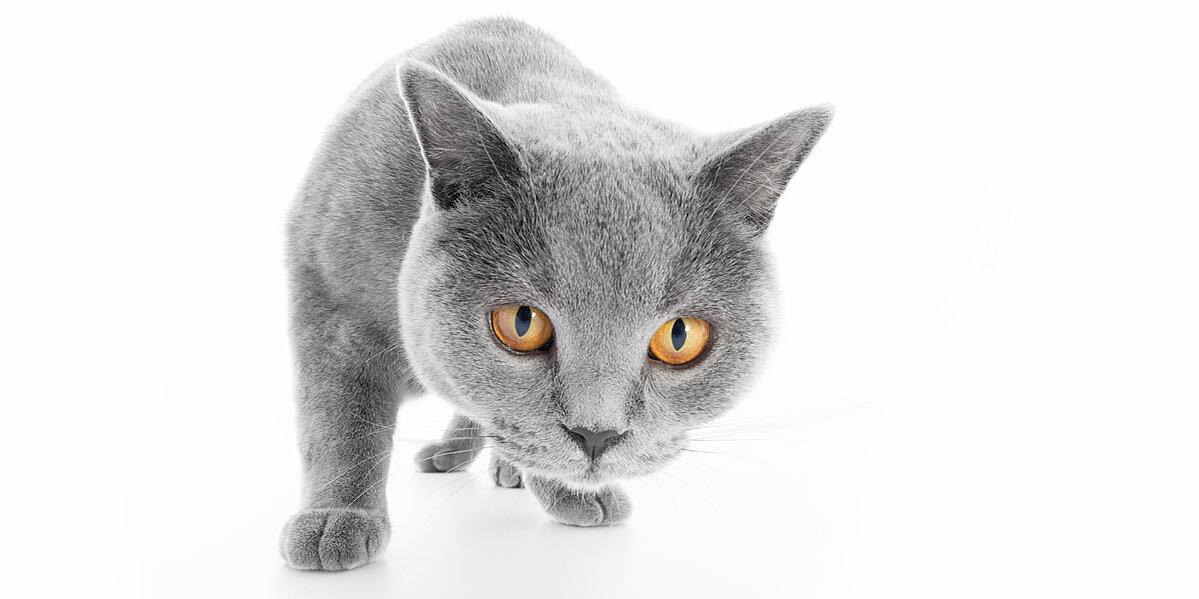 Graue Katze beobachtet das Geschehen