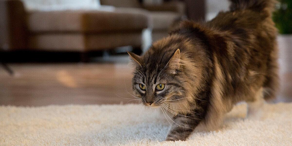Getigerte Katze mit Katzenschnupfen.