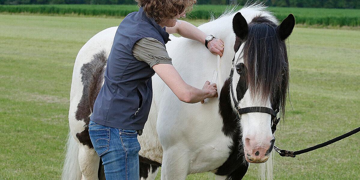 Pferd erhält Spritze