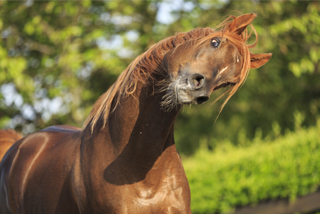 Akute muskuläre Hals- und Rückenbeschwerden beim Pferd.