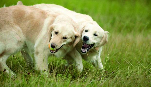 Zwei Hunde spielen miteinander auf einer grünen Wiese.