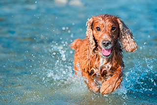 Brauner Hund läuft im Wasser