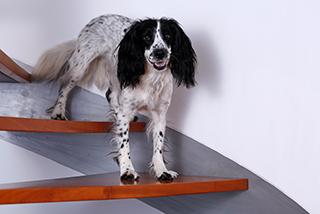 Hund läuft die Treppe trotz Arthrose hinunter.