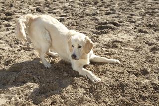 Hund spielt im Sand.
